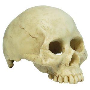 Human Skull small