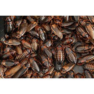 Dubia kakerlakker 1 kg.