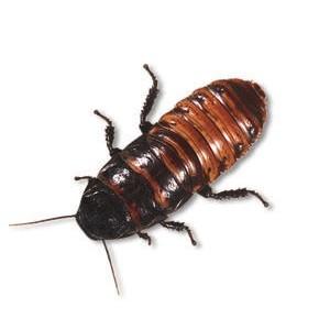 Hvæsende kakerlak, Voksen, 1 stk