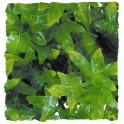 Congo Ivy M